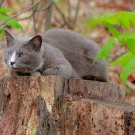 by Jennifer  Loper  - Animals - Cats Portraits ( feline, gray, laying, white nose, tree leaves, green eyes, cat, stump )