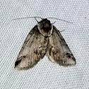 Sleeping Baileya Moth