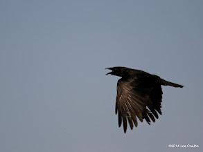 Photo: Crow