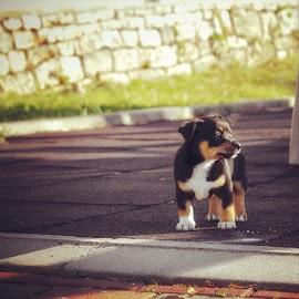 by Domenico Liuzzi - Animals - Dogs Puppies