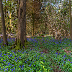 Hockering Wood by Dave Angood - Landscapes Forests ( wood, tree, blue bells, forest, landscape, flowers, woods )