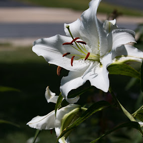 Oriental lily by Elaine Hill - Flowers Flower Gardens ( oriental, lily )