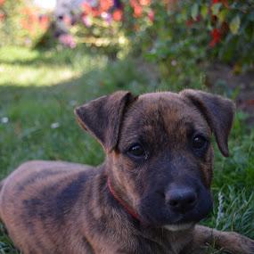 Boby by Alina Vicu - Novices Only Pets ( dog portrait, dog playing, dog, little dog, eyes,  )