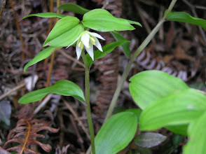 Photo: チゴユリ(ユリ科)。 2007.05.10 宮路山にて。 和名(稚児百合)の通り小さくて可愛い花です。