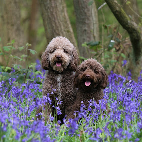 by David Morrison - Animals Other ( dogs, labradoodle, bluebells,  )
