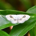 Eye Looper Moth