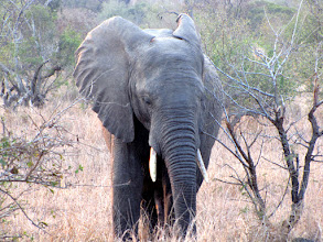 Photo: Kruger NP - elephant