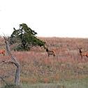 Elk (cows)