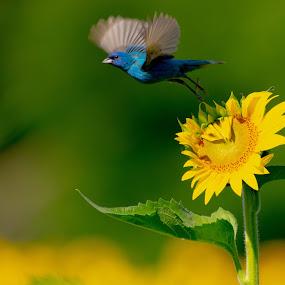 Indigo Bunting Taking Flight by Jane Gamble - Animals Birds ( indigo_bunting, audubon, sunflowers, summer, bird_in_flight )