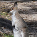 Red-necked Wallaby (juvenile)