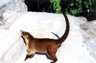 Photo: Tical, koati / A coati