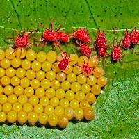 Il nido dei ragni rossi di