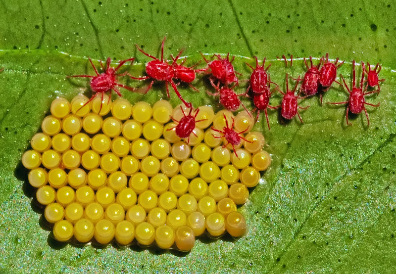 Il nido dei ragni rossi di Patrix