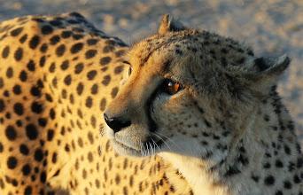 Photo: Weer een cheeta, om er nooit genoeg van te krijgen!
