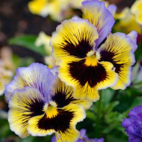Fancy Pansy Pants by Kari Schoen - Flowers Flower Gardens