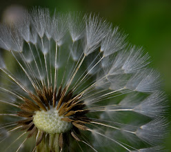 Photo: Dandelion will make you wise  Taken with my new lens. I cropped it to 100% and was impressed that it still came out pretty clear!