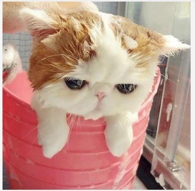 ผลการค้นหารูปภาพสำหรับ แมวเปอร์เซีย อาบน้ำ