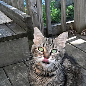 Gypsy With her Tongue Out by Nikki Scott - Animals - Cats Portraits ( cat, tongue, feline, outside,  )