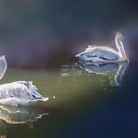 ignornce by Fereshteh Molavi - Animals Birds ( s, birs, wter reflections )