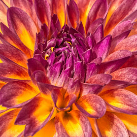 by Jim Jones - Flowers Single Flower ( flowers, color, dahlia, dahlias, flower )