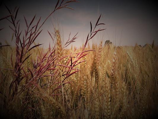 In mezzo al grano di Campiglio