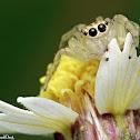 Jolly Telamonia Jumping Spider