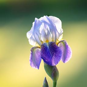 Beautiful White and Purple by Chad Roberts - Flowers Single Flower ( iris, white, purple, garden, flower )