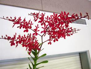 Photo: Renanthera Kalsom 'Red Dragon'