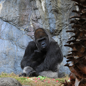 Gorilla by Rusty Goris - Animals Other Mammals ( big guy, the boss, silverback, gorilla, almost human )