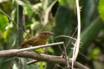 Photo: Summer Tanager (Sommertangare); Chacchoben, QROO