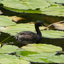 Australasian Grebe (in breeding plumage)