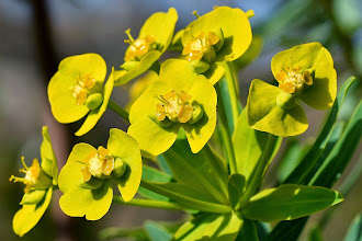 Photo: Euphorbia dendroides, euforbia arborea,  tree spurge.