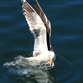 Snatch! by Philip McKibbin - Animals Birds ( water, wild, reflection, waves, fish, harbour, sea, ocean, feathers, snatch, bird, gull, ripples, wings, beak )