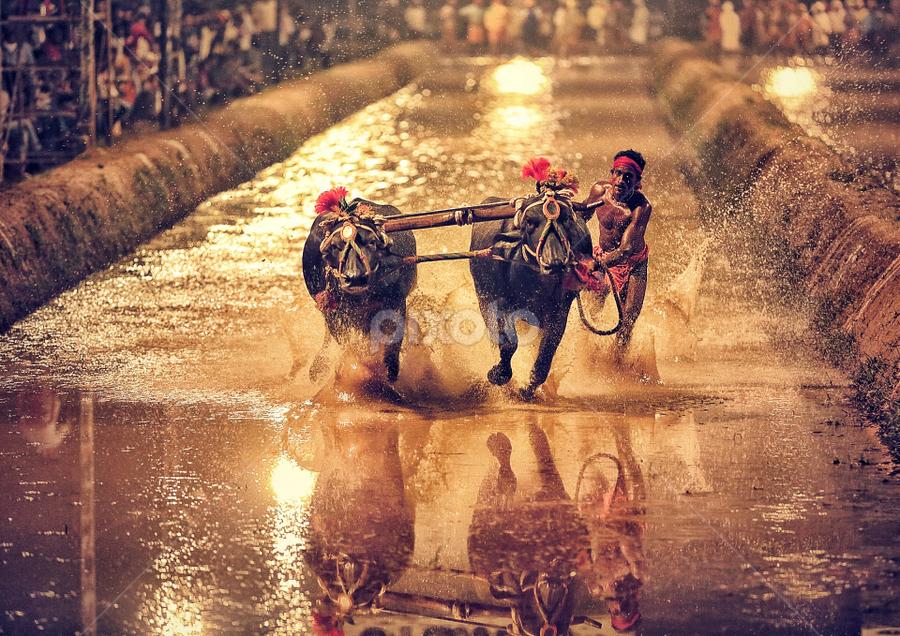 Kambala, Buffalo Race, India by Soumya Geetha - Sports & Fitness Other Sports