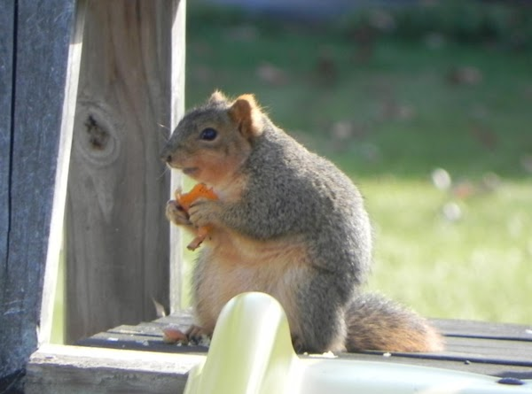Marmalade, The Orange Luvin' Squirrel! Recipe