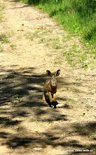 Photo: ...a pár metrů od smečky vlčáků mu konečně něco nehraje...