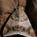 Croton Caterpillar moth