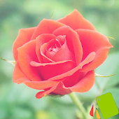 Theme Rose