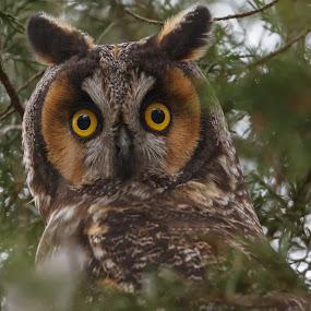 Long-eared Owl V by Robert Gallucci - Animals Birds ( nature, wildlife, long-eared owl, birds, owls, eyes )