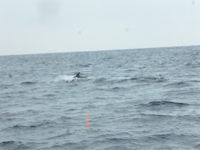 Photo: ギャー! ウキの目の前にイルカの大群がー! 「コラー!向こうに行けー!」
