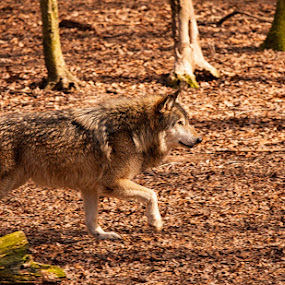 by Jay Huron - Animals Other Mammals ( walking, trotting, wolf, colors, fall, gray, leaves, animal )