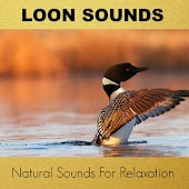 Loon Sounds Natural Recordings For Relaxation