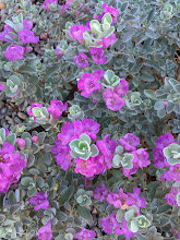 Photo: Texas Sage Bush, in Arizona - A popular landscaping bush in Phoenix, this pretty plant with purple flowers sings out in a slim cover of shade while the sun around it is blazing and strong.