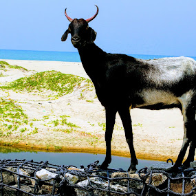 Goat2 by Abhisek Datta - Animals Other