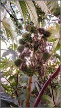 Photo: Ricin (Ricinus communis) - din Turda, de pe Str. Rapsodiei, spatiu verde la bloc - 2018.10.10