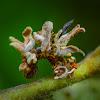 Emerald Moth caterpillar