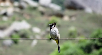 Photo: yellow breasted Bulbul