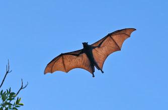 Photo: Day 5 - Black Flying Fox at Pine Creek © Ian Morris