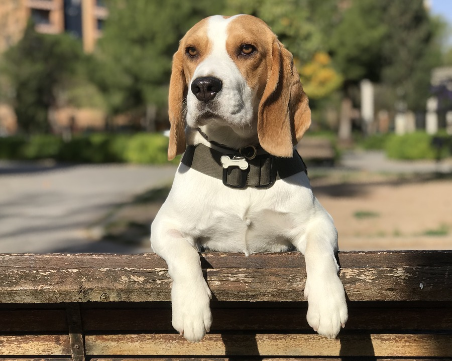 beagle propped up on fence