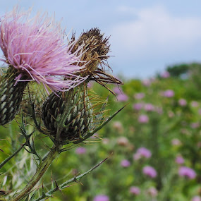 Thistle by John Ogden - Nature Up Close Flowers - 2011-2013 ( valley forge, thistle, medow, pink, flower )